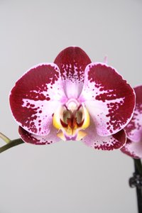 Alice Adventures Phalaenopsis - Jubao Fairy
