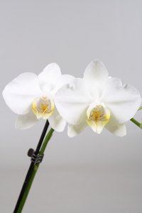 Alice Adventures Phalaenopsis - Tropical Snowball
