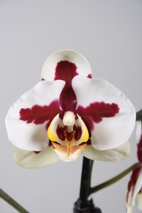 Alice Adventures Phalaenopsis Orchidee - Red Cross